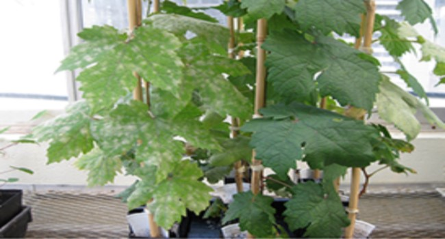 Assessing powdery mildew resistance in grapevine.